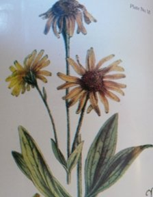 Arnica is used for many forms of Blood Stasis.