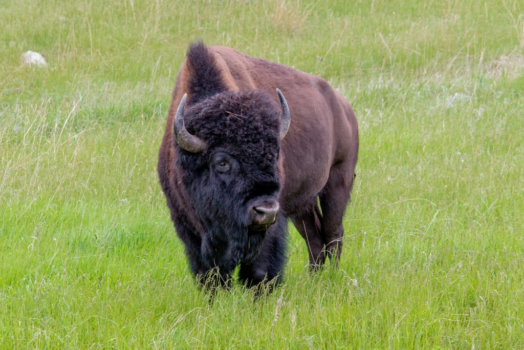 Bison is one of a number of good blood building foods